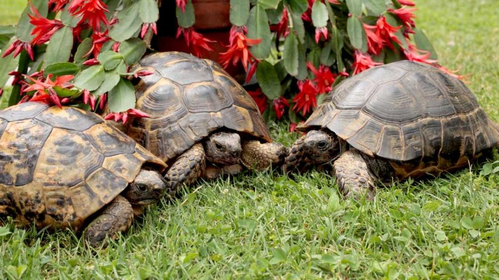 Consigli utili per allevare tartarughe terrestri sane e for Tartarughe in amore